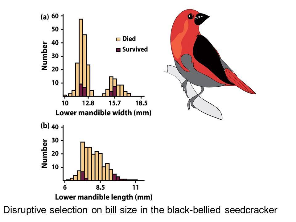 Disruptive selection on bill size in the black-bellied seedcracker