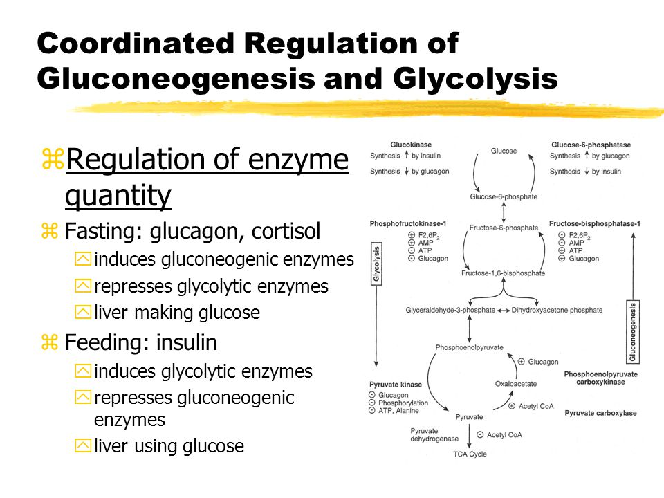 Coordinated Regulation of Gluconeogenesis and Glycolysis zRegulation of enzyme quantity zFasting: glucagon, cortisol yinduces gluconeogenic enzymes yrepresses glycolytic enzymes yliver making glucose zFeeding: insulin yinduces glycolytic enzymes yrepresses gluconeogenic enzymes yliver using glucose