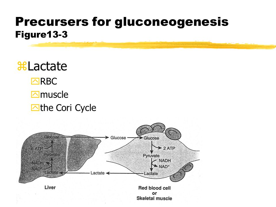 Precursers for gluconeogenesis figure 13-4 zAlanine and other amino acids ytransamination of pyruvate ypyruvate derived from glycolysis or from amino acid degradation yalanine cycle