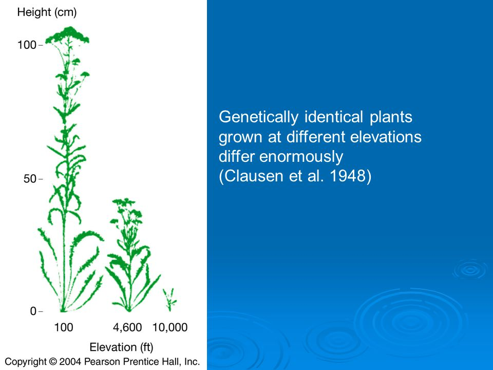 Genetically identical plants grown at different elevations differ enormously (Clausen et al. 1948)