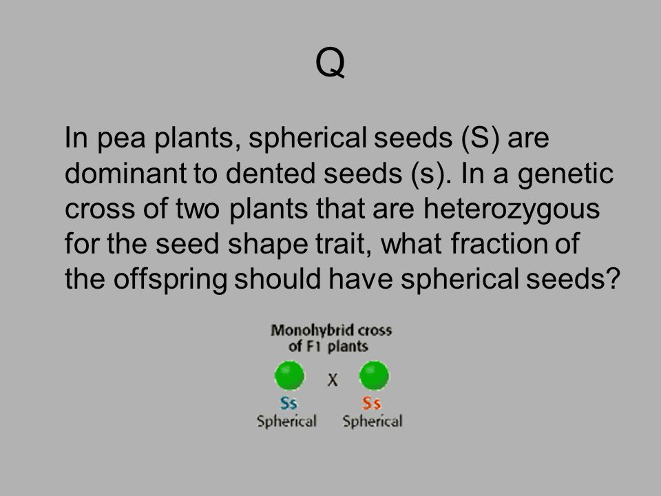 Q In pea plants, spherical seeds (S) are dominant to dented seeds (s). In a genetic cross of two plants that are heterozygous for the seed shape trait