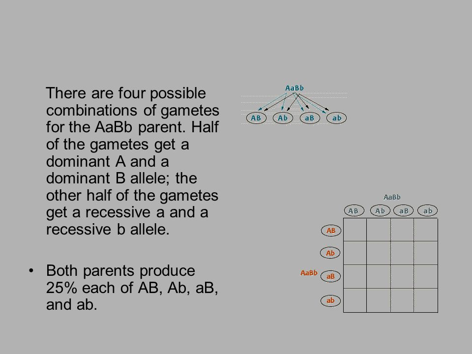 There are four possible combinations of gametes for the AaBb parent. Half of the gametes get a dominant A and a dominant B allele; the other half of t