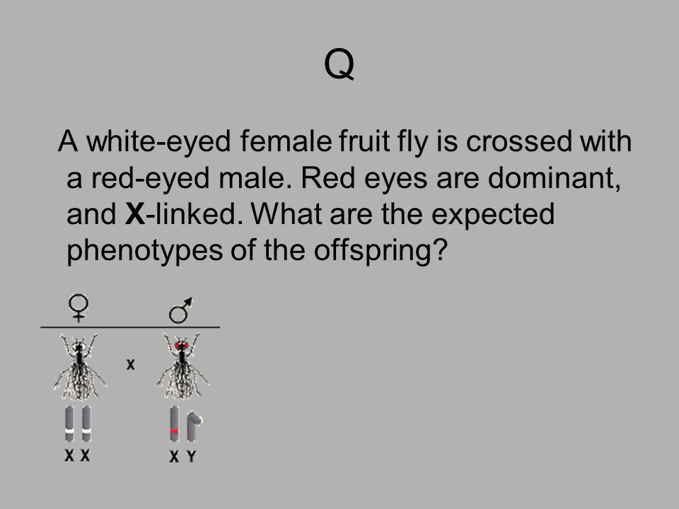 Q A white-eyed female fruit fly is crossed with a red-eyed male. Red eyes are dominant, and X-linked. What are the expected phenotypes of the offsprin
