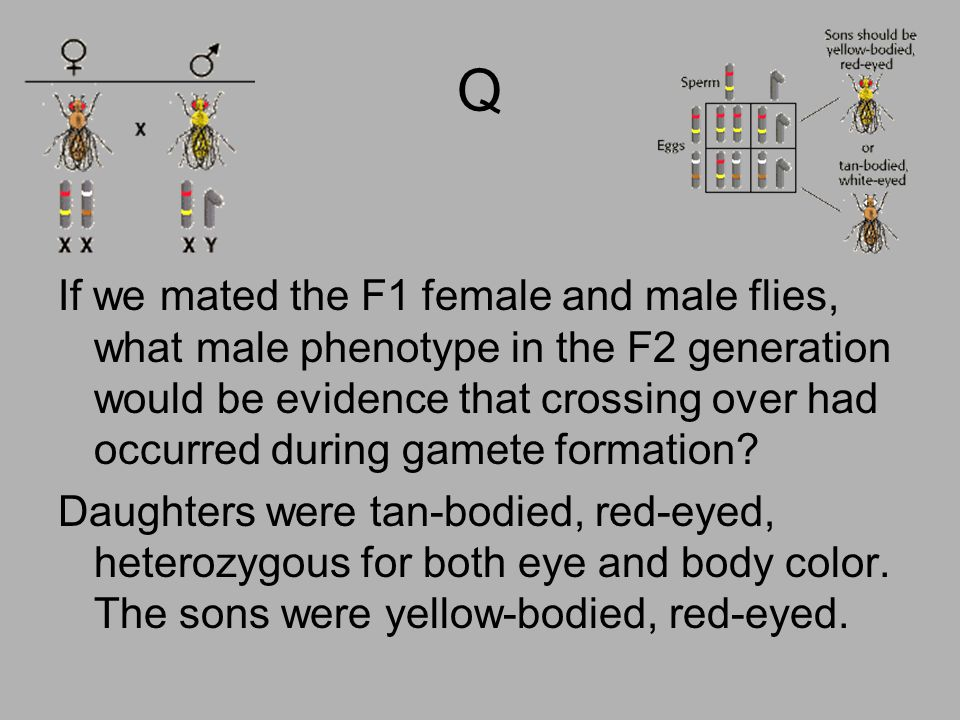 Q If we mated the F1 female and male flies, what male phenotype in the F2 generation would be evidence that crossing over had occurred during gamete f