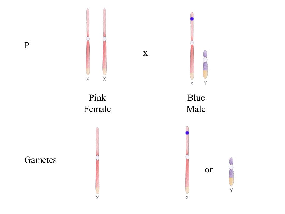 F2 Blue FemaleBlue MaleBlue FemalePink Male 3 : 1 Blue to Pink 1 : 1 Female to Male