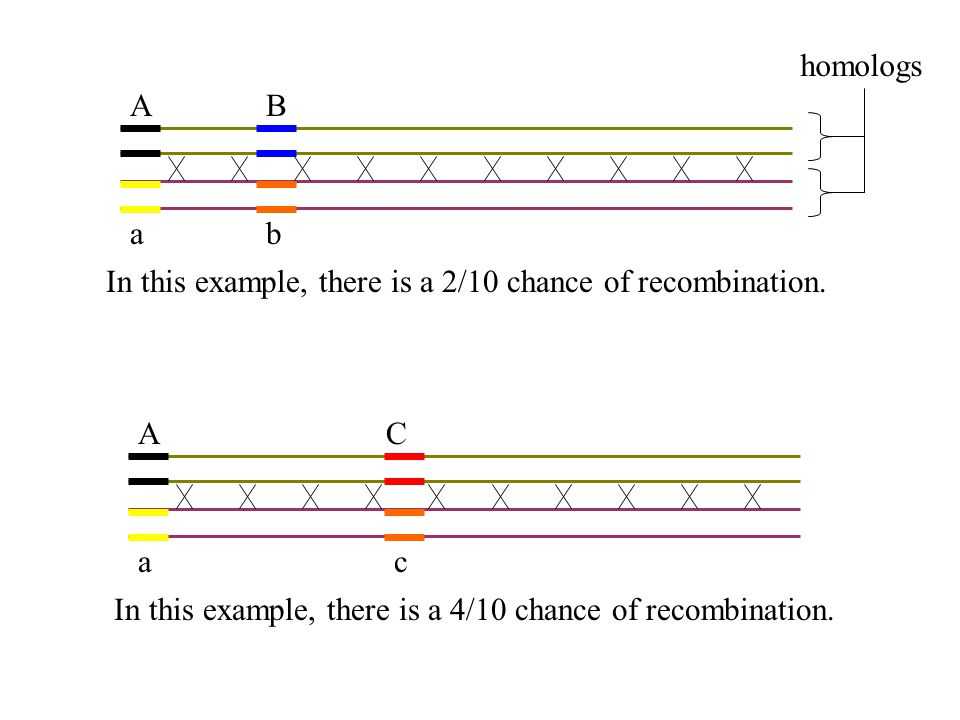 Recombination Frequencies Genes that are adjacent have a recombination frequency near 0%, Genes that are very far apart on a chromosome have a recombination frequency of 50%, The relative distance between linked genes influences the amount of recombination observed.