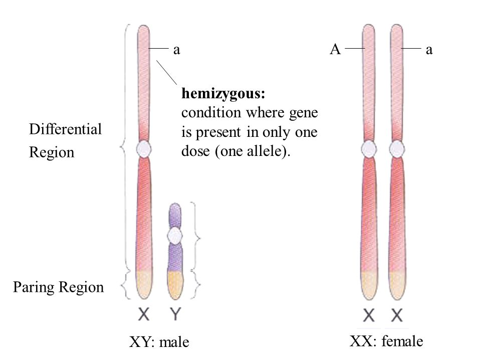 Sex Chromosomes most mammals…...