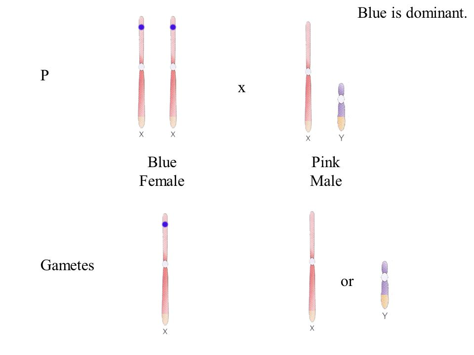 X Linkage …the pattern of inheritance resulting from genes located on the X chromosome.