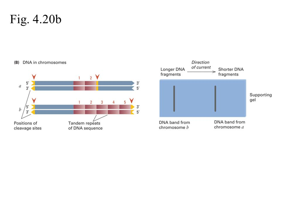 Fig. 4.19 Fig. 4.20a Molecular Mapping Markers