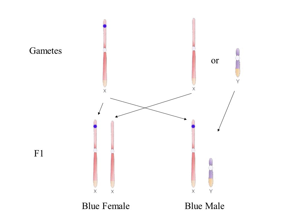 Blue Female Pink Male x P Gametes or Blue is dominant.