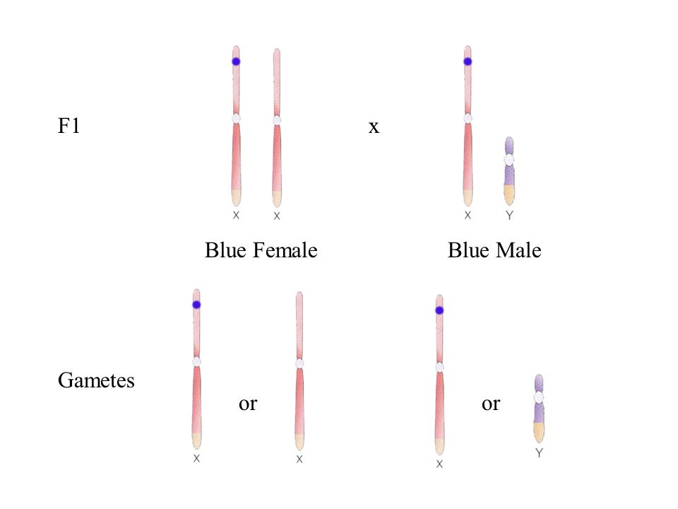 Gametes or F1 Blue FemaleBlue Male