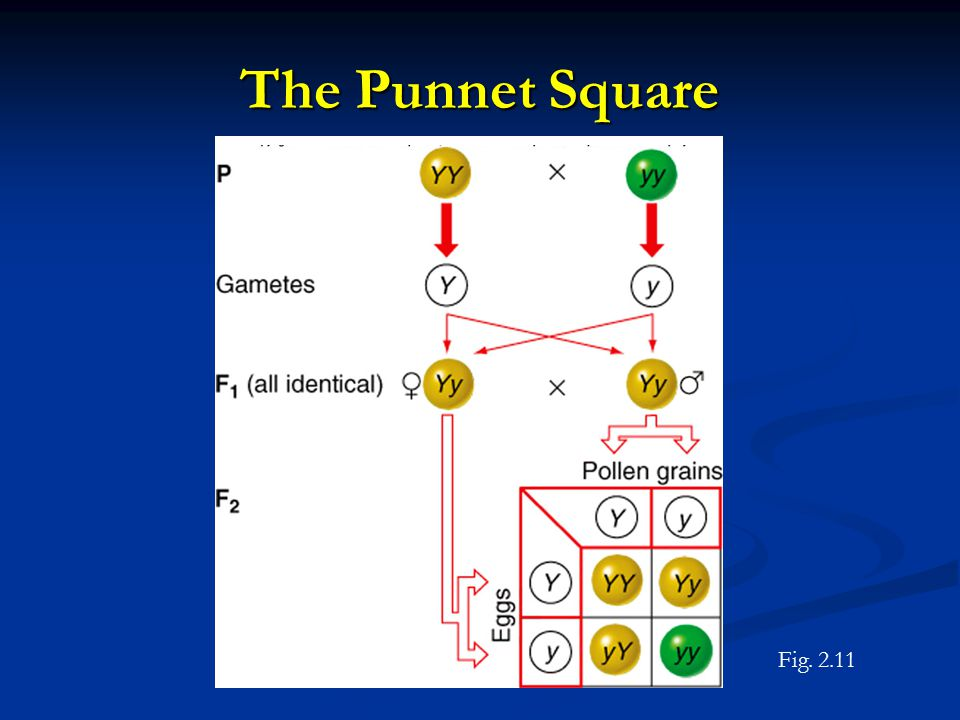 The Punnet Square Fig. 2.11