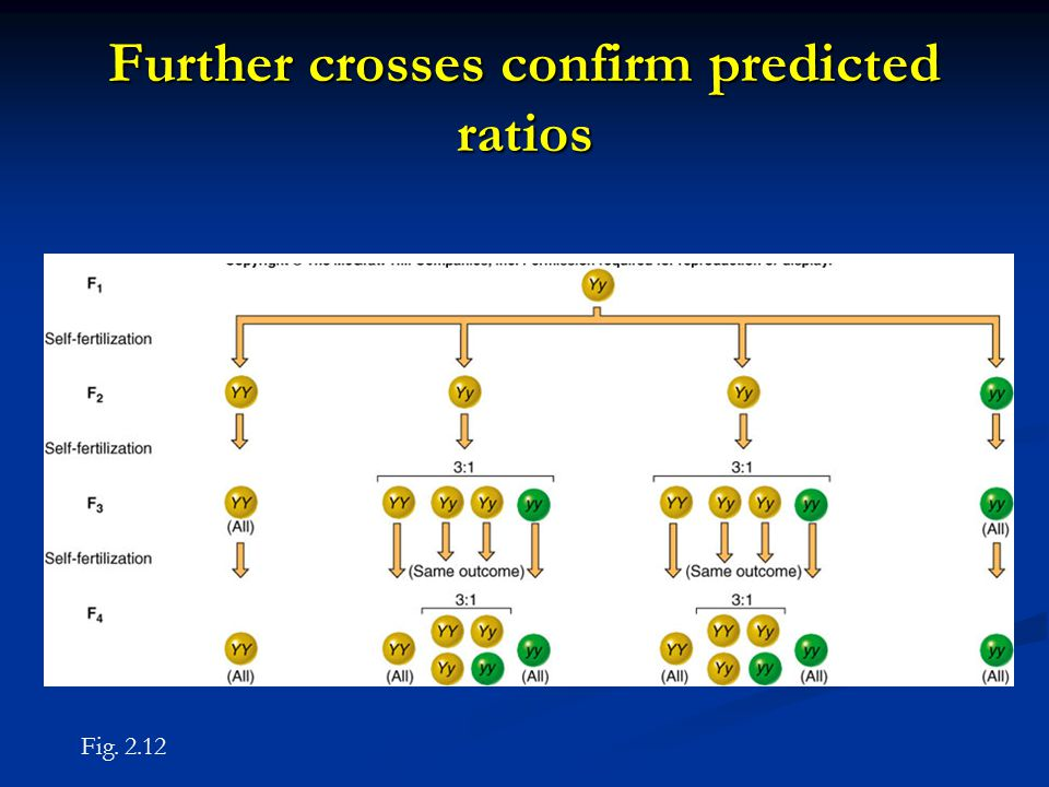 Further crosses confirm predicted ratios Fig. 2.12