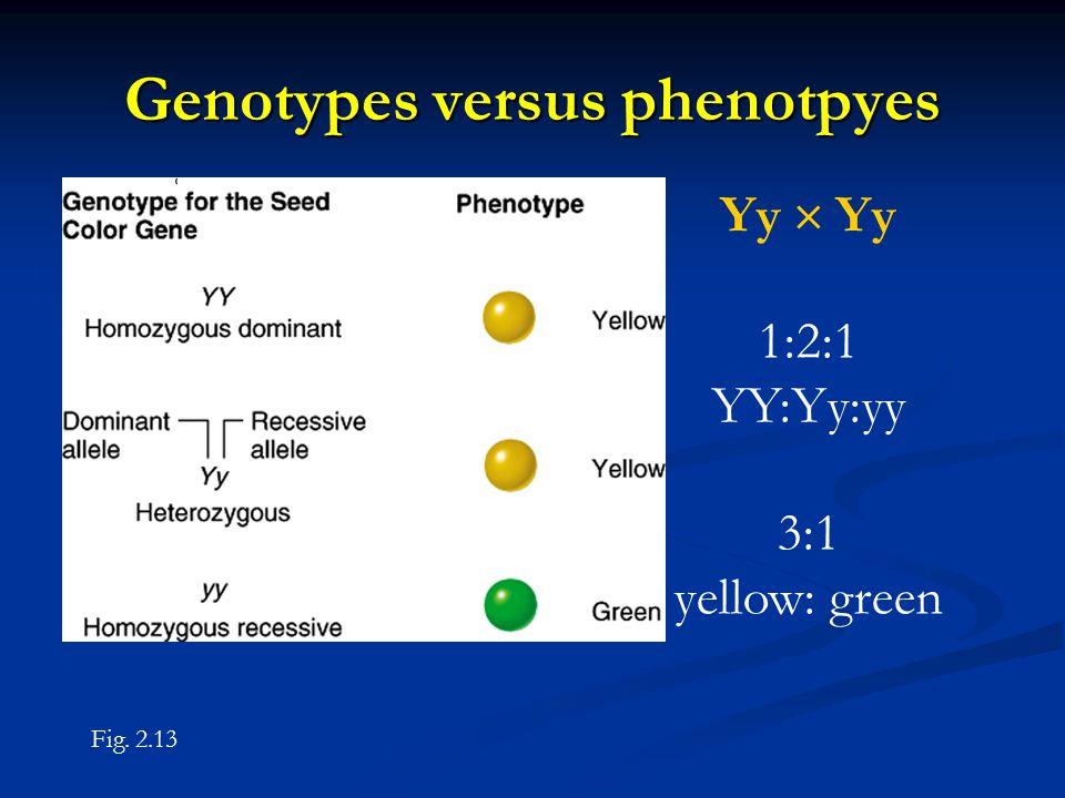Genotypes versus phenotpyes Yy  Yy 1:2:1 YY:Yy:yy 3:1 yellow: green Fig. 2.13