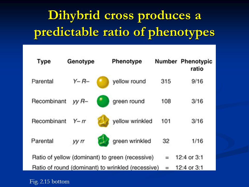 Dihybrid cross produces a predictable ratio of phenotypes Fig. 2.15 bottom