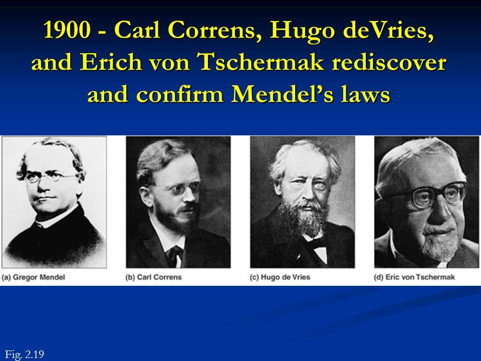 1900 - Carl Correns, Hugo deVries, and Erich von Tschermak rediscover and confirm Mendel's laws Fig. 2.19