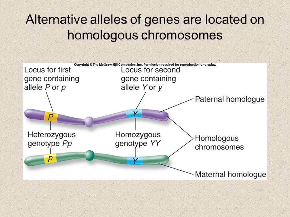 Alternative alleles of genes are located on homologous chromosomes