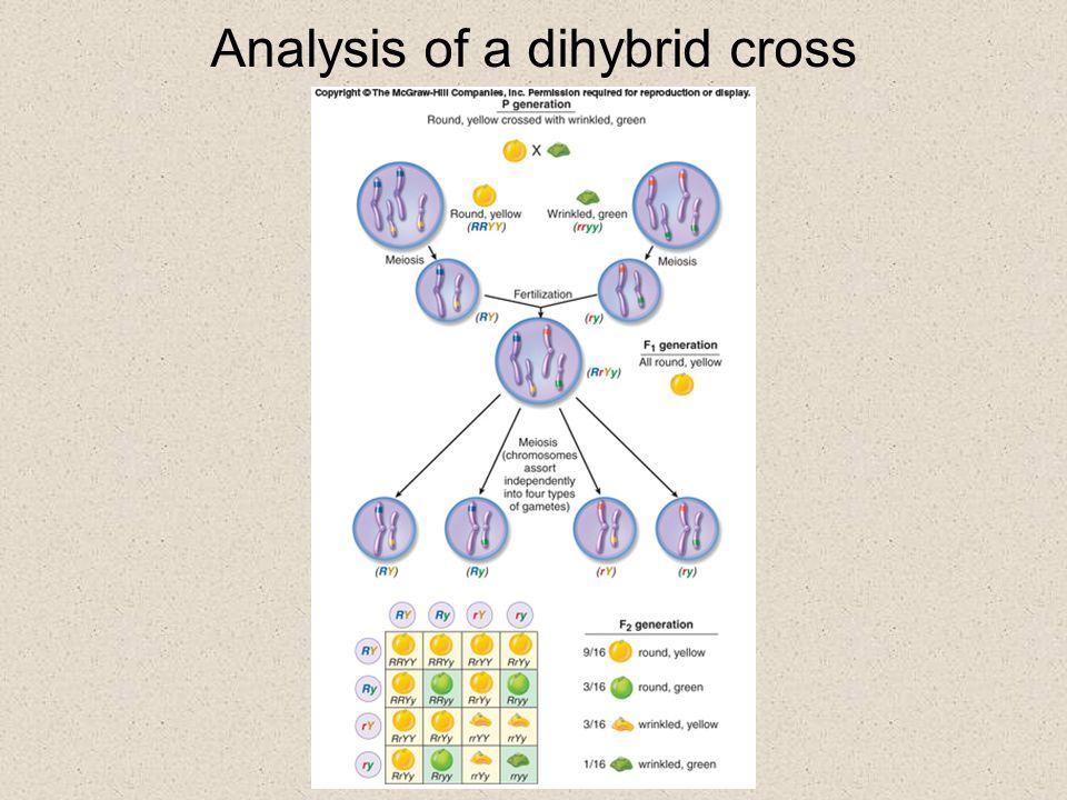Analysis of a dihybrid cross