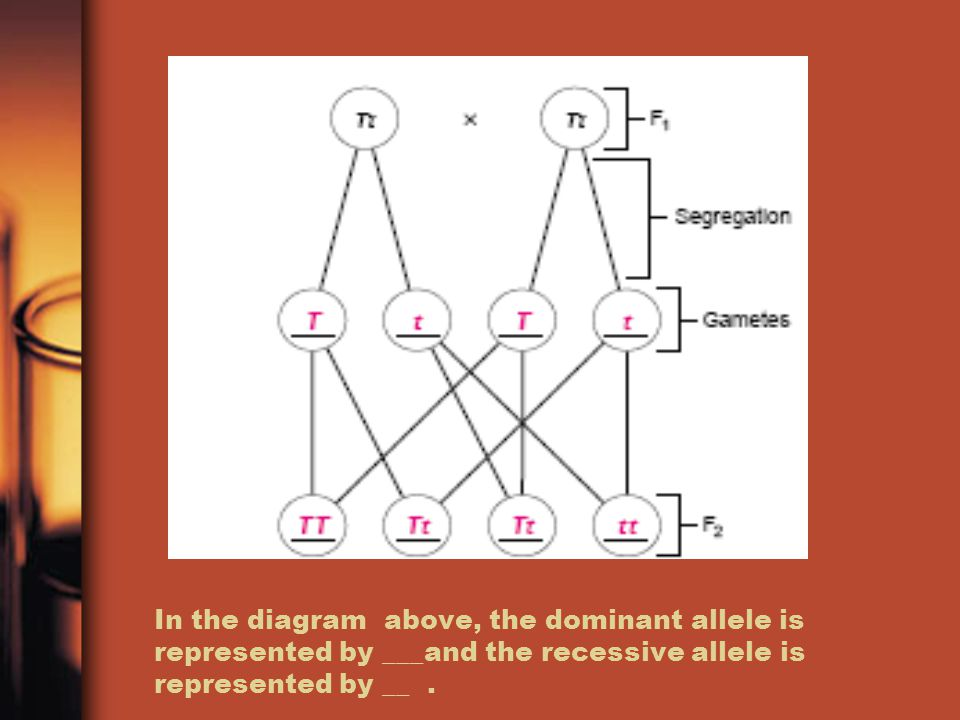 In the diagram above, the dominant allele is represented by ___and the recessive allele is represented by __.