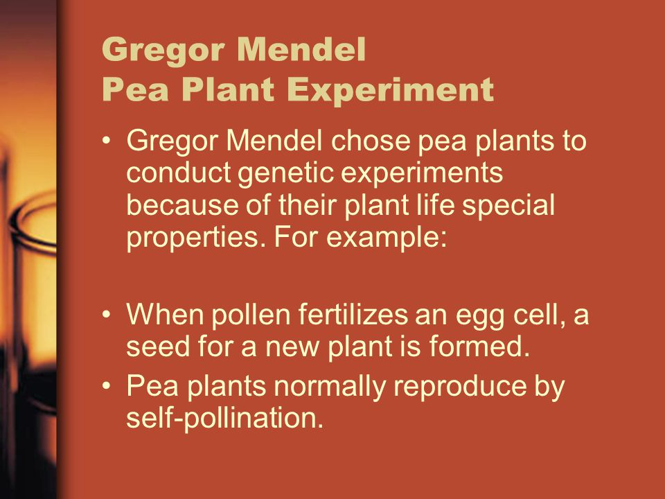 Gregor Mendel Pea Plant Experiment Gregor Mendel chose pea plants to conduct genetic experiments because of their plant life special properties.