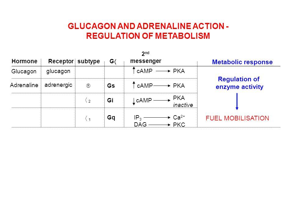 Glucagon Adrenaline glucagon adrenergic 2121 cAMP IP 3 DAG Ca 2+ PKC PKA inactive HormoneReceptorsubtype 2 nd messenger GG Gs Gi Gq GLUCAGON A