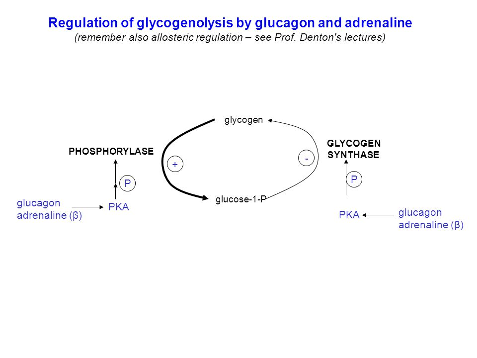glycogen glucose-1-P Regulation of glycogenolysis by glucagon and adrenaline (remember also allosteric regulation – see Prof. Denton's lectures) PHOSP