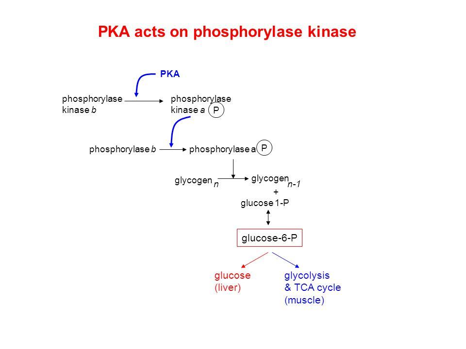 phosphorylase kinase b phosphorylase kinase a P PKA phosphorylase bphosphorylase a P PKA acts on phosphorylase kinase glycogen n n-1 + glucose 1-P glu