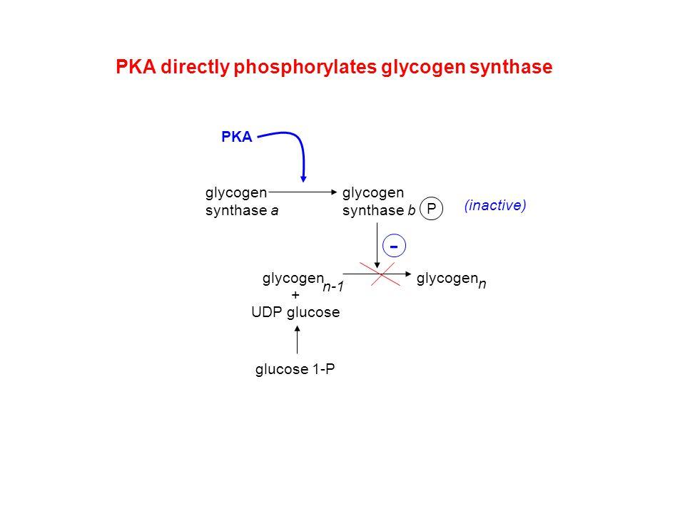 glycogen synthase a P glycogen synthase b PKA (inactive) PKA directly phosphorylates glycogen synthase + UDP glucose glucose 1-P glycogen n n-1 -