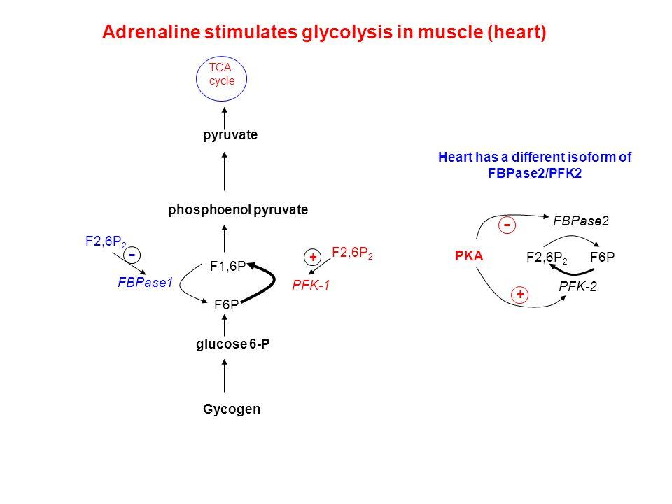 Adrenaline stimulates glycolysis in muscle (heart) pyruvate phosphoenol pyruvate F1,6P F6P glucose 6-P PFK-1 FBPase1 F2,6P 2 + TCA cycle Gycogen PKA +
