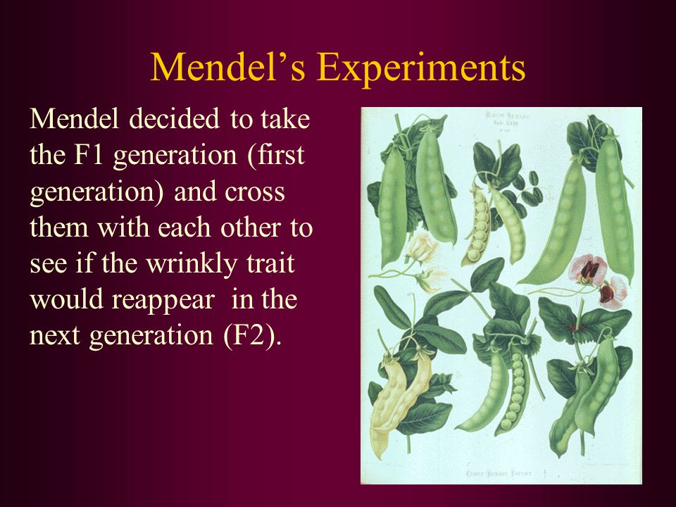 Mendel's Experiments Mendel decided to take the F1 generation (first generation) and cross them with each other to see if the wrinkly trait would reappear in the next generation (F2).