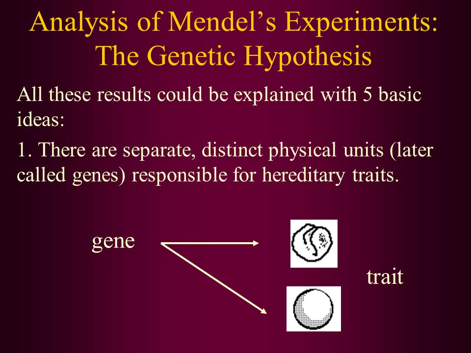 Analysis of Mendel's Experiments: The Genetic Hypothesis All these results could be explained with 5 basic ideas: 1. There are separate, distinct phys