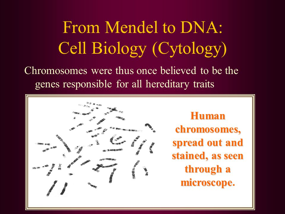 From Mendel to DNA: Cell Biology (Cytology) Chromosomes were thus once believed to be the genes responsible for all hereditary traits Human chromosome