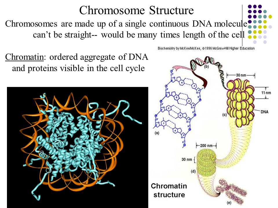 2015-4-17EECS 73030 Chromosome Structure Chromosomes are made up of a single continuous DNA molecule can't be straight-- would be many times length of