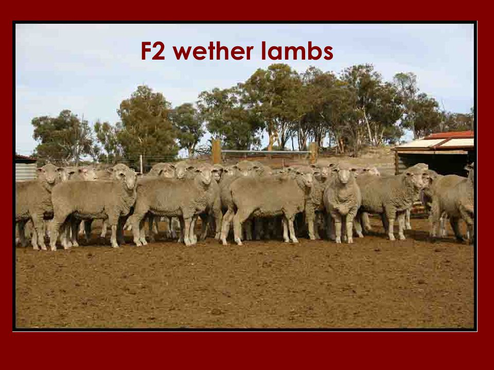 F2 wether lambs