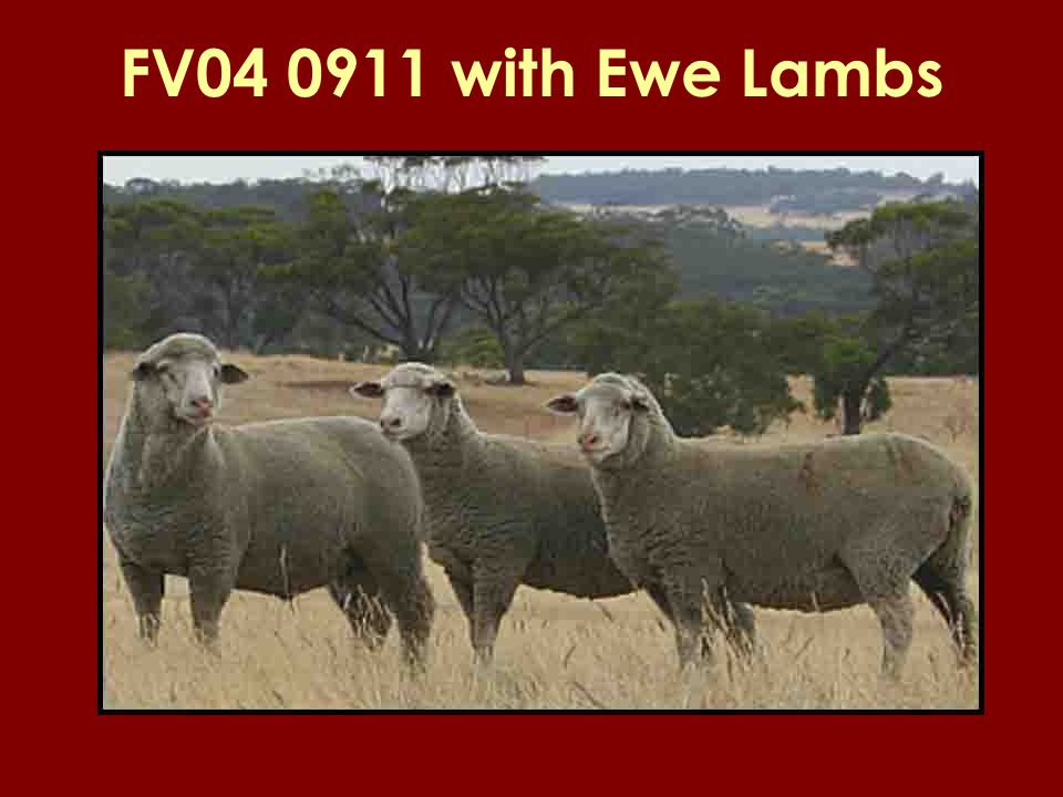 FV04 0911 with Ewe Lambs