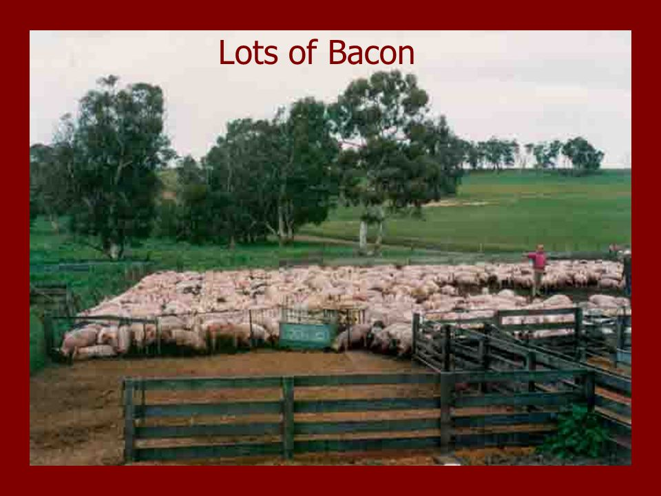 Far Valley Status in 1985  Wool and Meat – a good combination  Had typical Collinsville Peppin cross sheep  80 - 85 % Lambing  Good plain ewes doing 22.5 micron