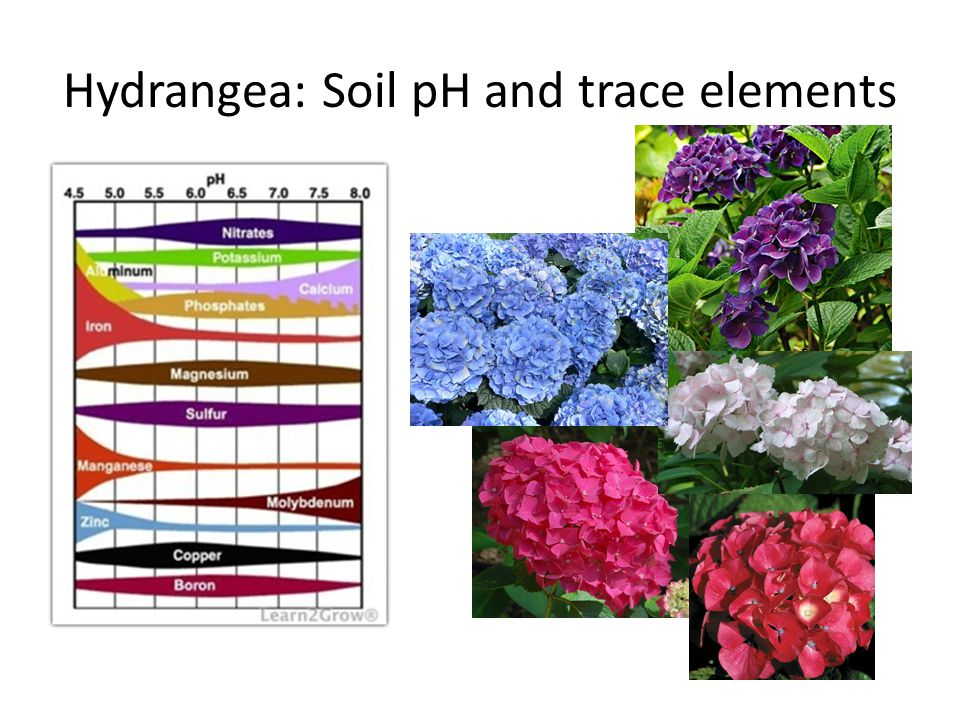Hydrangea: Soil pH and trace elements