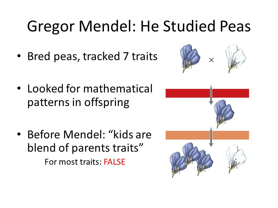 Gregor Mendel: He Studied Peas Bred peas, tracked 7 traits Looked for mathematical patterns in offspring Before Mendel: kids are blend of parents traits For most traits: FALSE