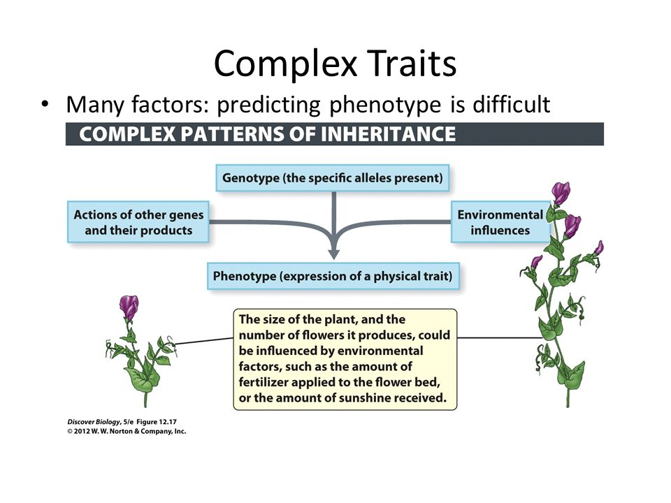 Complex Traits Many factors: predicting phenotype is difficult