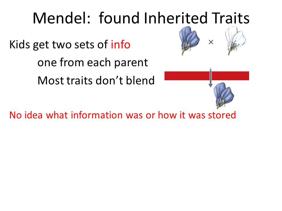 Mendel: found Inherited Traits Kids get two sets of info one from each parent Most traits don't blend No idea what information was or how it was stored