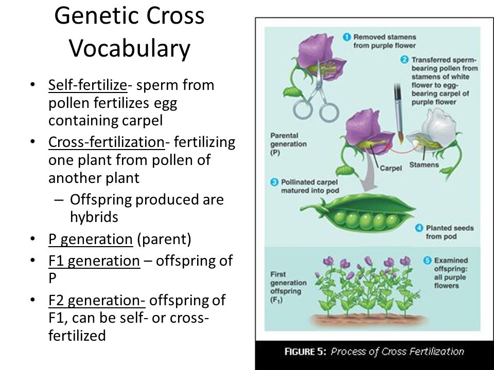 Genetic Cross Vocabulary con't Monohybrid cross- parents differ in only one trait Alleles- alternate forms of a gene A (dominant) or a (recessive) Homozygous- alleles for a trait are identical, AA Heterozygous- alleles are different, Aa Phenotype- organism's physical trait expressed – Ex: purple flower Genotype- genetic make up of trait – Ex: PP