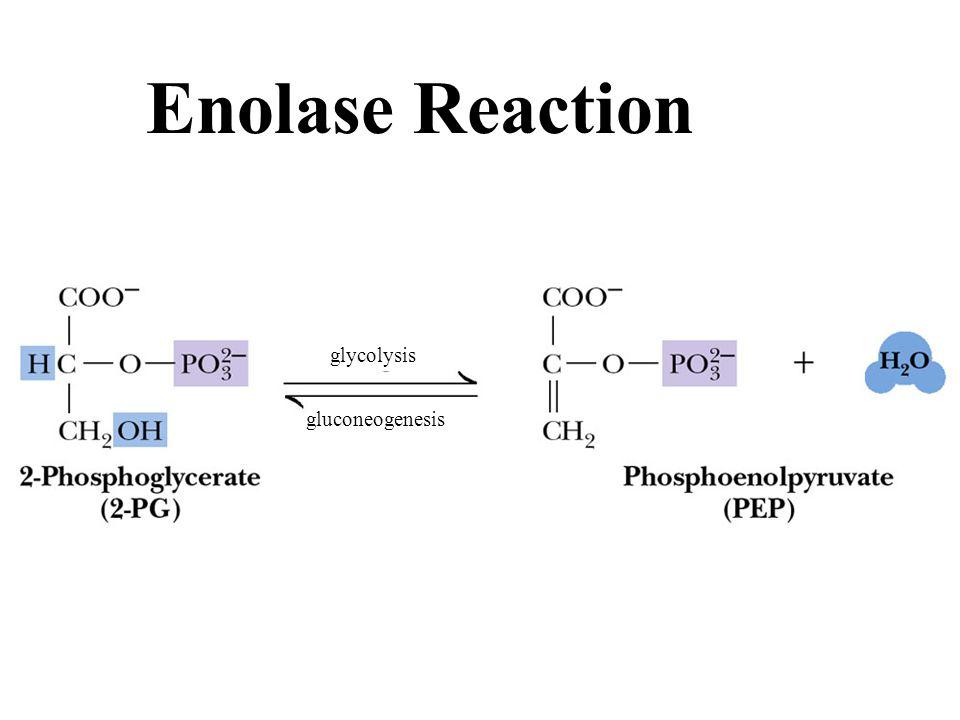 Fig. 18-26, p. 595 Enolase Reaction gluconeogenesis glycolysis