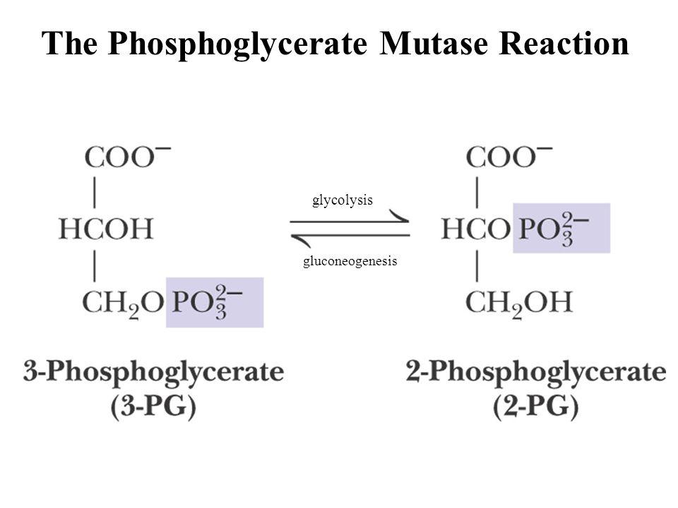 Fig. 18-23, p. 594 The Phosphoglycerate Mutase Reaction gluconeogenesis glycolysis
