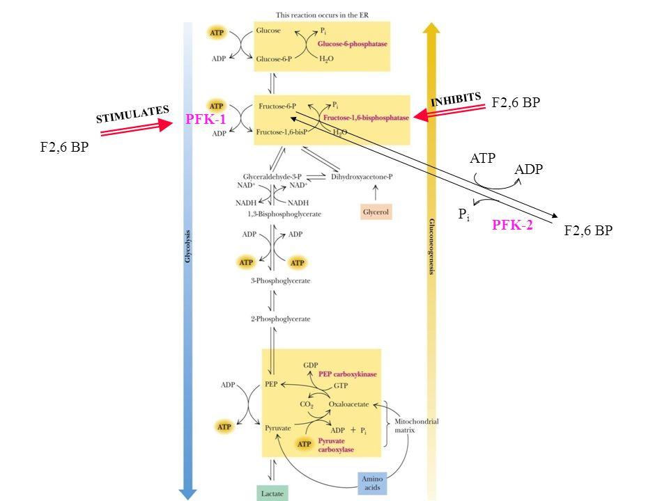 F2,6 BP ATP ADP PiPi F2,6 BP PFK-1 PFK-2 INHIBITS F2,6 BP STIMULATES