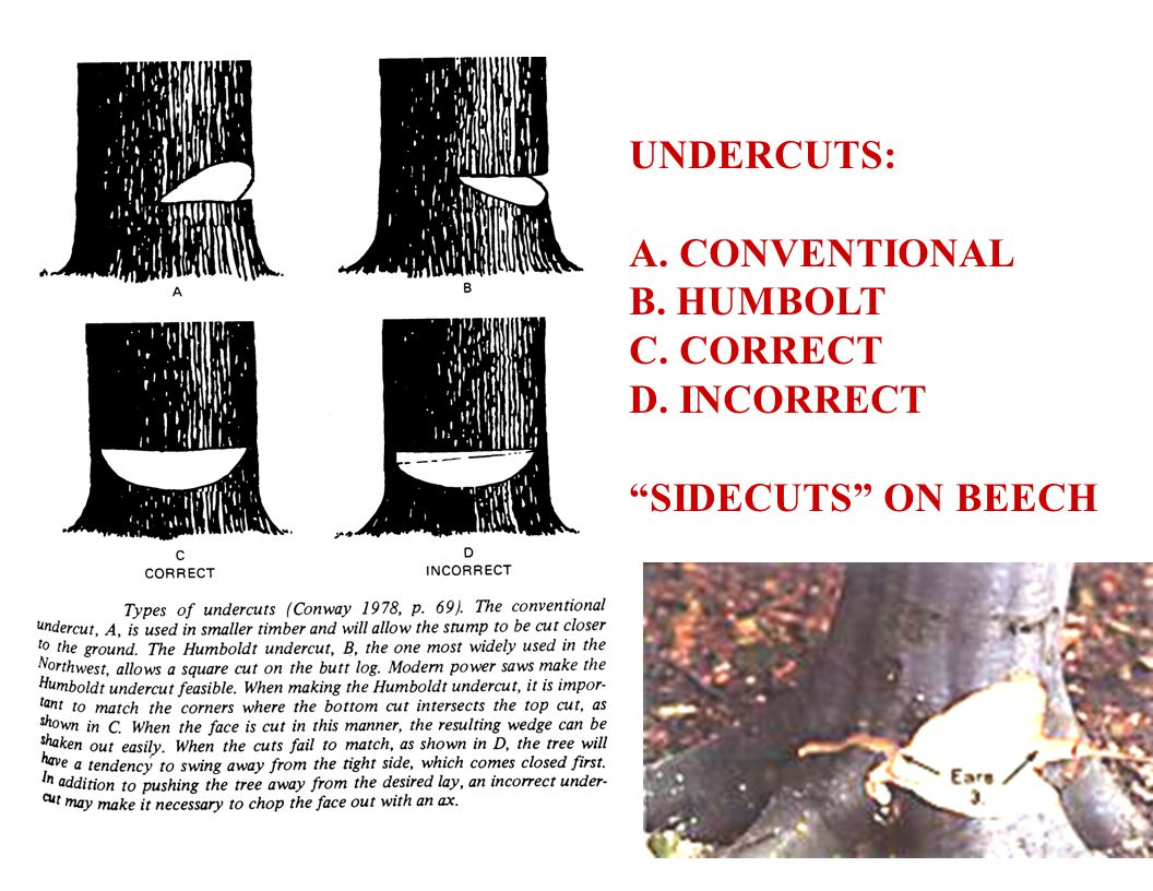 13 UNDERCUTS: A. CONVENTIONAL B. HUMBOLT C. CORRECT D. INCORRECT SIDECUTS ON BEECH