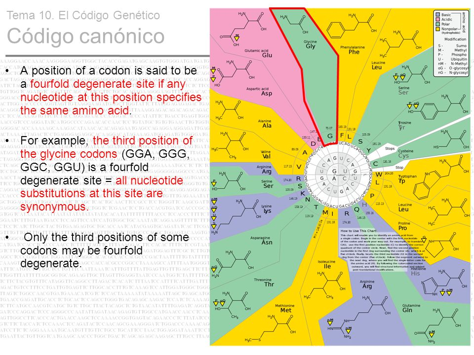 17 Tema 10. El Código Genético Código canónico A position of a codon is said to be a fourfold degenerate site if any nucleotide at this position speci