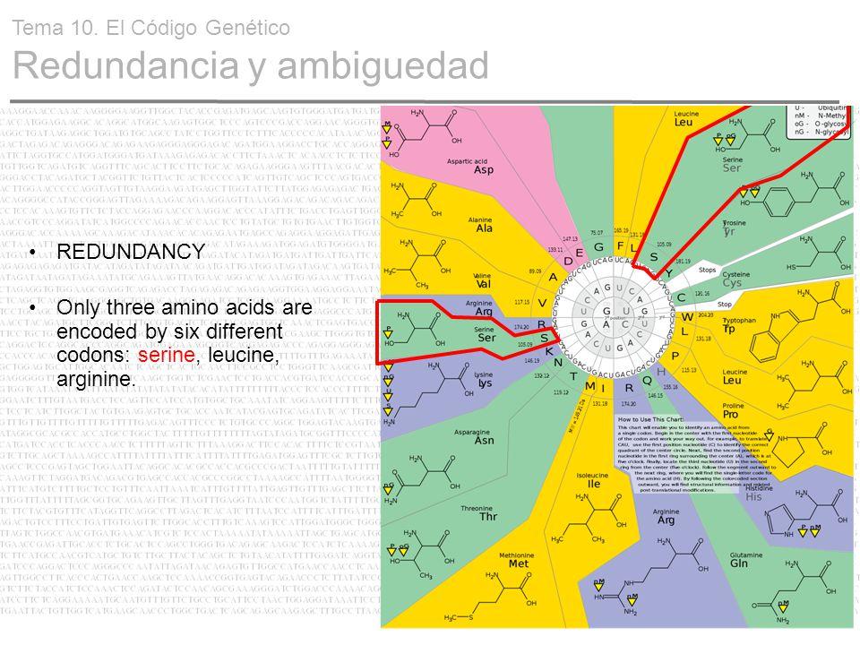 22 REDUNDANCY Only three amino acids are encoded by six different codons: serine, leucine, arginine. Tema 10. El Código Genético Redundancia y ambigue