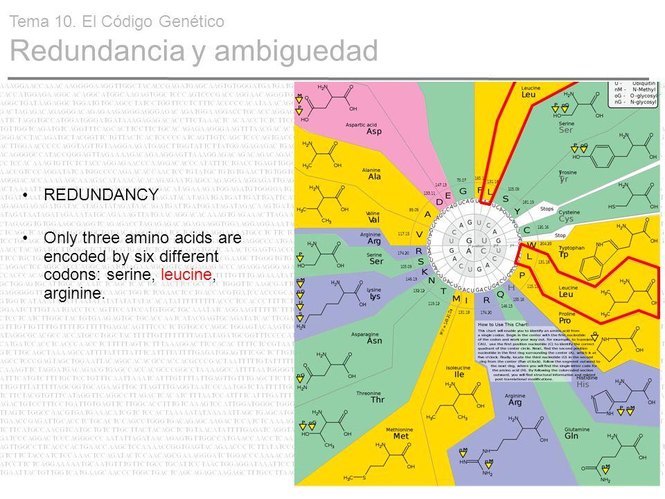 23 REDUNDANCY Only three amino acids are encoded by six different codons: serine, leucine, arginine. Tema 10. El Código Genético Redundancia y ambigue