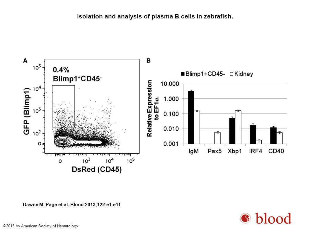 Isolation and analysis of plasma B cells in zebrafish.