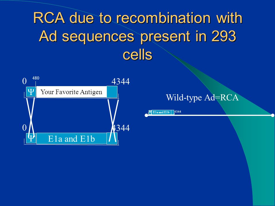 RCA due to recombination with Ad sequences present in 293 cells 0 4344 Your Favorite Antigen Ψ 0 4344 E1a and E1b Ψ 0 4344 E1a and E1b Ψ Wild-type Ad=RCA 480